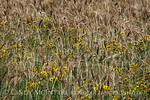 Wheat and plains coreopsis, SW OK (9)