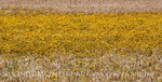 Wheat and plains coreopsis, SW OK (4)