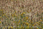 Wheat and plains coreopsis, SW OK (7)